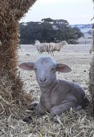 Lamb resting in a nice cozy spot, within the straw bale shelter