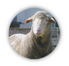 The Dohne Sheep Breed